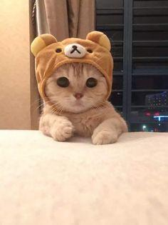 641 Best Cats In Hats images Cats Crazy cats Cat hat