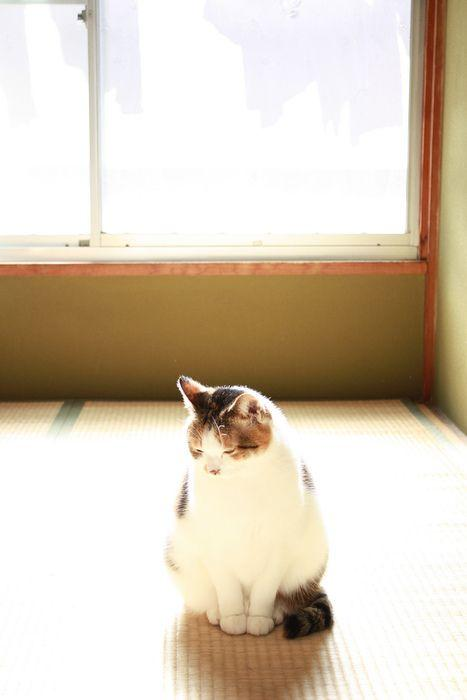 Pin by Hollin Brodeur on cats and kittens Japanese bobtail Cats Japanese animals