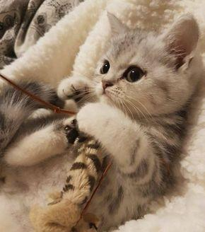 most affectionate cat breeds - adorable kitten picutres Kittens