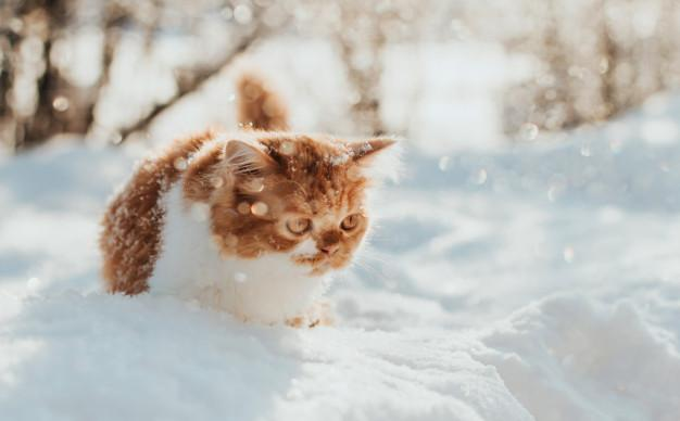 Fluffy ginger kitten walks in the snow on a winter morning