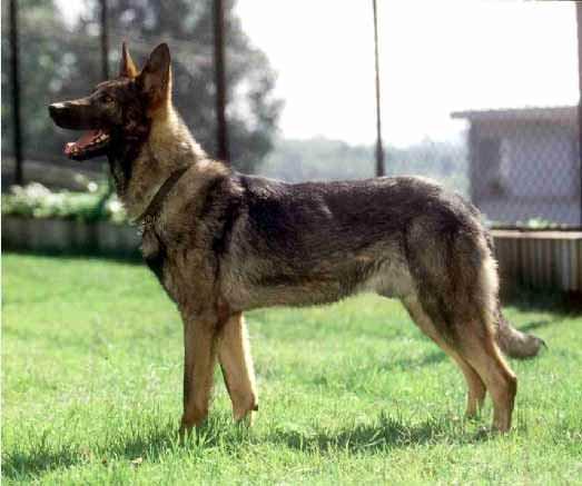 Chó Côn Minh