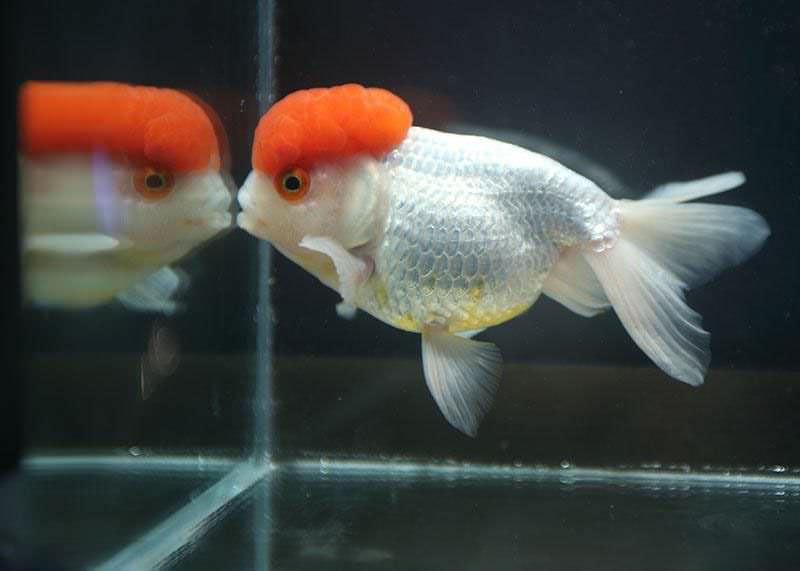 bản gốc là cá vàng đầu ngỗng đỏ ở Việt Nam gọi là Hạc Đỉnh Hồng Red Cap Oranda Goldfish - Carassius auratus có nguồn gốc Trung Quốc là một giống cá cảnh dễ nuôi và phổ bin hiện nay nhưng năm mười năm trở về trước loại cá tàu ba đuô