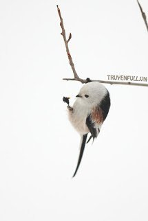 Gia Chính Là Loại Chim Như Vậy