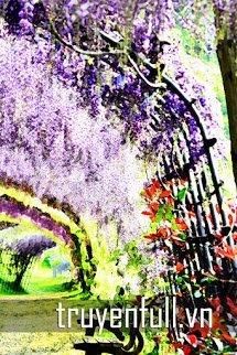 Hoa Tử Đằng Nở Đầy Trên Hàng Rào